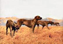 Rhodesian in Line
